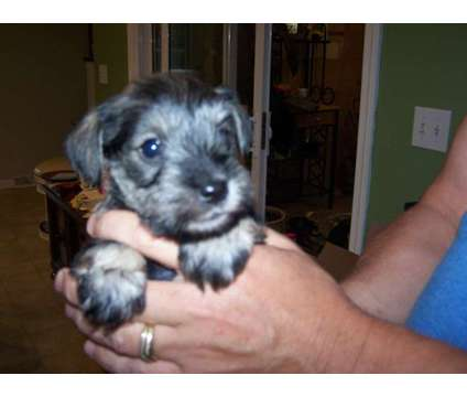 Beautiful Mini Schnauzer Puppies is a Female Miniature Schnauzer Puppy For Sale in Somerset KY