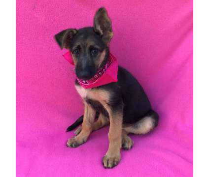 German Shepherd Puppy Purebred is a Female German Shepherd Puppy For Sale in Canoga Park CA