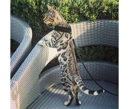 TICA & CFA Registered Bengals is a Male Bengal Young For Sale in Olympia WA