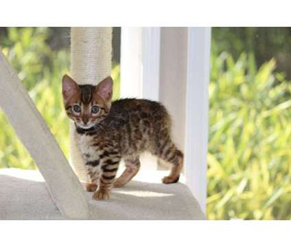 TICA & CFA Registered Bengals - WE HAVE BABIES :) is a Male Bengal Young For Sale in Olympia WA