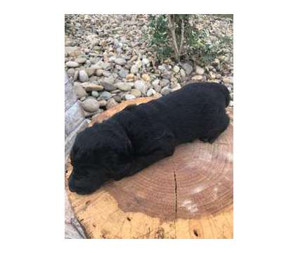 F1 Labordoodles is a Female Puppy For Sale in Knoxville TN