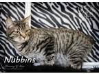 Nubins Manx Kitten Male