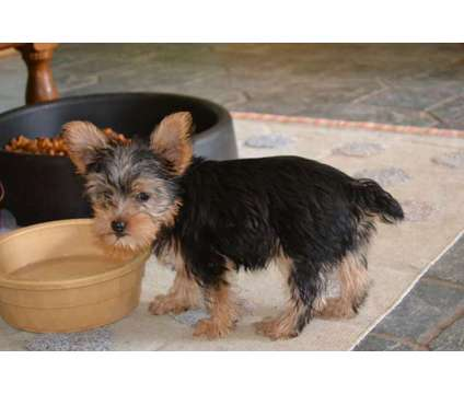 Yorky Puppies is a Male Yorkshire Terrier Puppy For Sale in Huggins MO