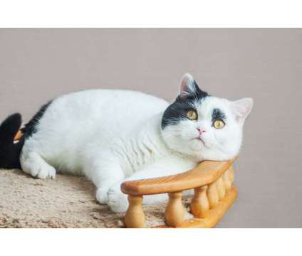 TICA REGISTERED British shorthair 15 month Adorable Male Cat is a Male British Shorthair Adult For Sale in Brooklyn NY