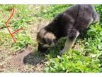 Ckc Registered German Shepherd Puppy S