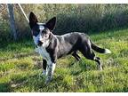 Flicker *Adoption Pending* Border Collie Young Male