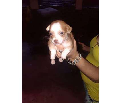 Chihuahua puppies is a Chihuahua Puppy For Sale in Lancaster PA