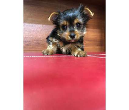 Teacup Yorkie puppy is a Female Yorkshire Terrier Puppy For Sale in Fullerton CA