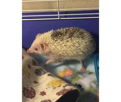 Hedgehog is a Male For Sale in Port Orchard WA