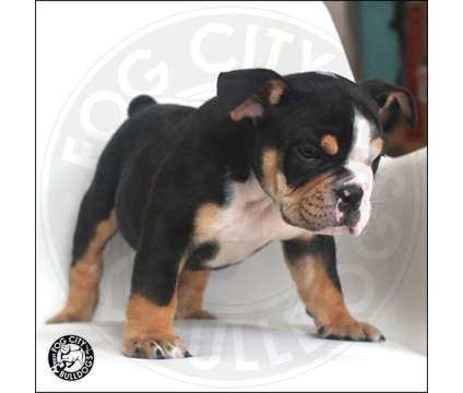 AKC English Bulldog Puppies Available - Black and Blue Tricolor is a Black, Blue Male Bulldog Puppy For Sale in Los Angeles CA