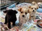 Pomeranian/Chihuahua And Parti Yorkie Mixed Pups