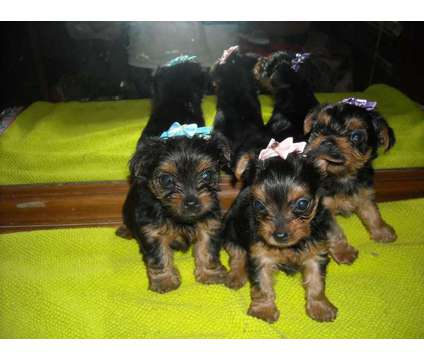 ckc registered yorkie puppies is a Female Yorkshire Terrier Puppy For Sale in Louisville KY