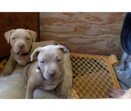 blue fawn bully pups is a Blue Male Puppy For Sale in Ukiah CA