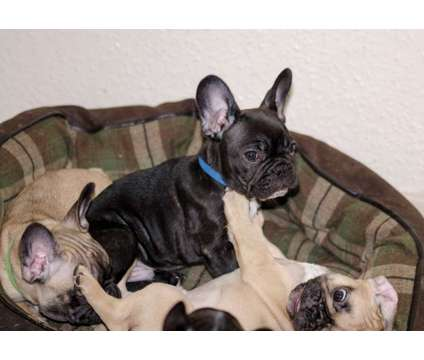 1 fawn and 2 black / 1 brindle French bulldog puppies for sale is a Black Bulldog, French Bulldog For Sale in North Bergen NJ
