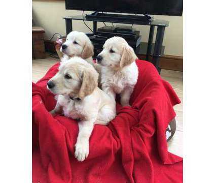 These Adorable Golden Retriever Puppies Are Now Available For Sale is a Golden Retriever, Labrador Retriever For Sale in North Bergen NJ
