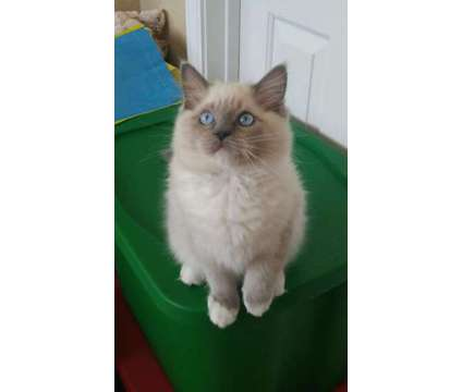 Ragdoll Kitten is a Blue Male Ragdoll Kitten For Sale in Nampa ID