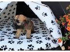 Abbie - Soft Coated Wheaten Terrier For Sale In Millersburg Ohio