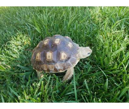 Baby Sulcata Tortoise is a Baby For Sale in Paramount CA