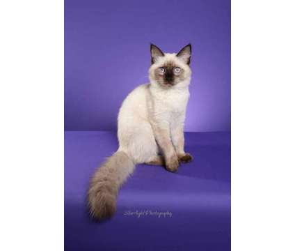 ragdoll kitten is a Male Ragdoll Kitten For Sale in Tucson AZ