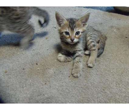 brown bengals is a Brown Female Bengal Kitten For Sale in Tucson AZ