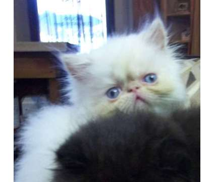 flamepoint Male Persian Kitten is a Male Persian Young For Sale in Panama City Beach FL