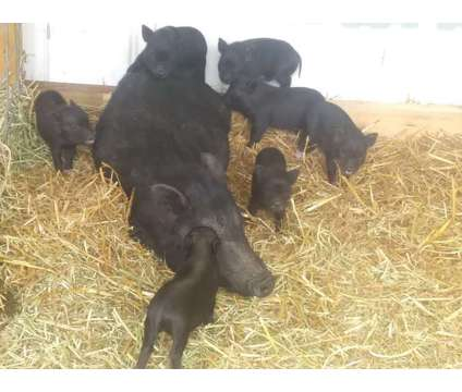 Mini Pigs is a Female Baby For Sale in Statham GA