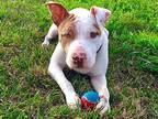 Jordon American Staffordshire Terrier Young Male