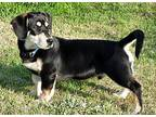 Stubby Basset Hound Puppy Male