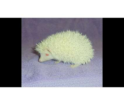 Baby Hedgehog is a Male Baby For Sale in Norman OK
