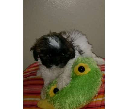 8 week old shih tzu puppies for sale *1 Puppy left* is a Male Shih-Tzu Puppy For Sale in Oshawa ON