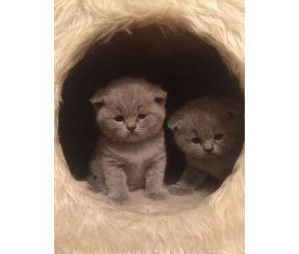 Scottish fold and strsight kitties from NY is a Male Scottish Fold Kitten For Sale in New York NY