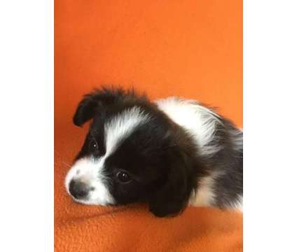 ACA Papillon Puppies is a Female Papillon Puppy For Sale in Sapulpa OK