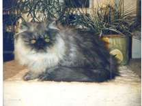Available, A Gorgeous 5 Month Old Black Smoke Persian Male