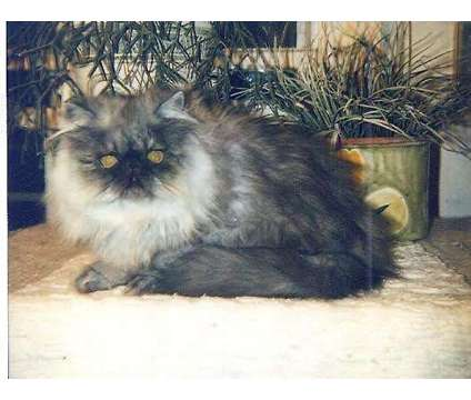 Available, A Gorgeous 4 Month Old Black Smoke Persian Male is a Black Male Persian Young For Sale in Floral Park NY