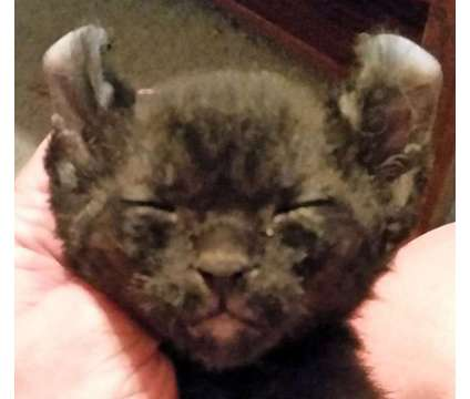 Exotic Highlander kittens is a Female Young For Sale in Mechanic Falls ME