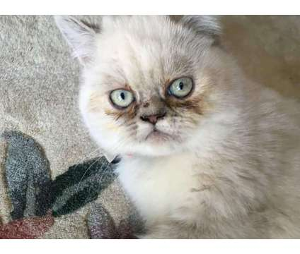 CFA Reg. Himalayan and Exotic Shorthaired Persian Kittens Lynxpoint is a Female Himalayan Kitten For Sale in Philadelphia PA