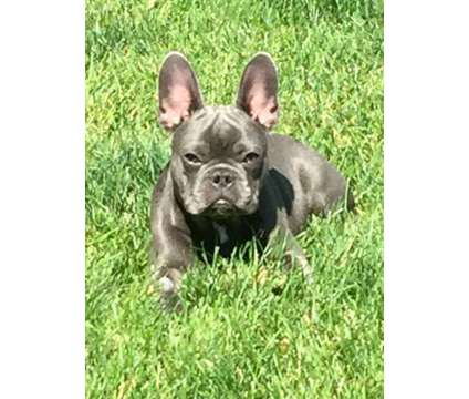 BEAUTIFUL A.K.C. reg. BLUE and BLUE MERLE FRENCH BULLDOG PUPPIES is a Blue Male French Bulldog Puppy For Sale in Mystic CT
