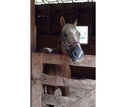 Beautiful Golden Palomino Gelding Q.H. 6 Year Old is a Male Palomino in Ledyard CT