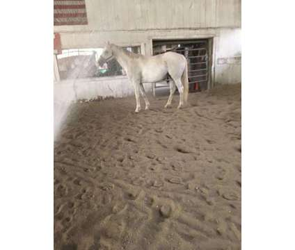 T.B. Mare Grey 16 Years Old is a Grey Female in Ledyard CT