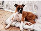 Schatzi Boxer Young Female