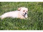 Buttercup Cavalier King Charles Spaniel Young Female