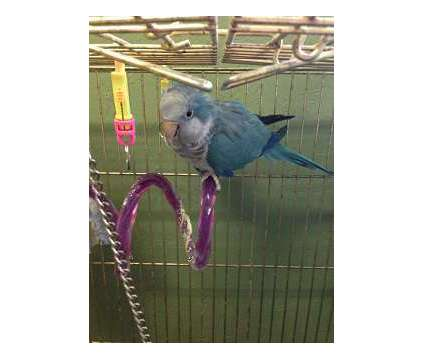 BLUE QUAKER, Male, Proven is a Blue Male Parakeet For Sale in Aurora IN