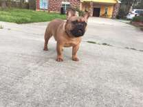 Stud Service, red male French Bulldog