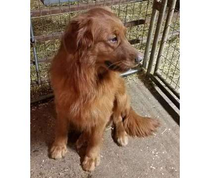 Golden Retriever AKC Stud Service is a Male Golden Retriever For Sale in Lima OH