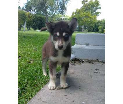 Siberian Husky Puppies is a Female Siberian Husky Puppy For Sale in Cocoa FL