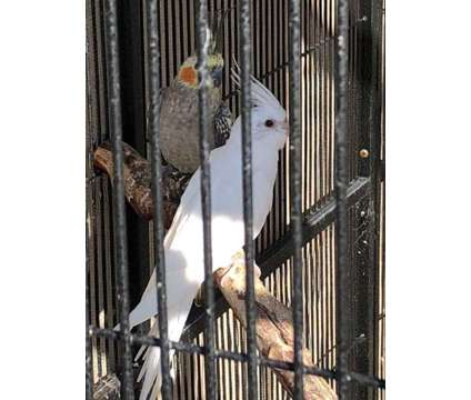 Cockatiels for sale is a Cockatiel Baby For Sale in San Diego CA