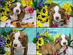 Romeo American Staffordshire Terrier Puppy Male