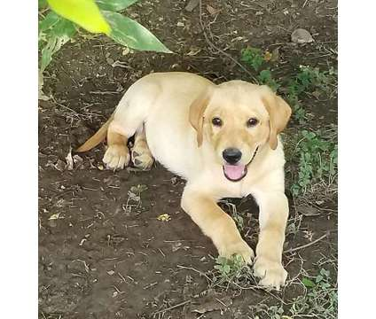 AKC Yellow Lab Puppy is a Yellow Male Labrador Retriever Puppy For Sale in Houston TX