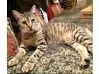 Simmone American Shorthair Kitten Female