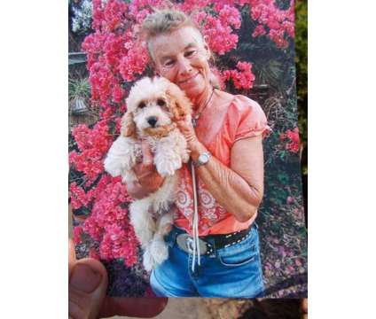 Mini Doodles ( Cava-poo) ..WOW is a Male Poos Puppy For Sale in Vista CA